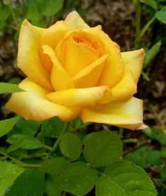 roses garden care Hottest Pic yellow Rose Garden Ideas Rose care is less. - Garden Care tips, Garden ideas,Garden design, Organic Garden Garden Care, Rose Drawing Simple, Yellow Rose Tattoos, Evergreen Vines, Rose Care, Rainbow Roses, Garden Drawing, Rose Photography, Rose Bouquet