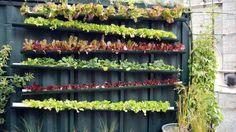 Esempio di orto verticale autocostruito. Il sistema generale per coltivare in verticale è tutto sommato semplice. Mediante l'impiego di alcune lamiere adeguatamente sagomate, in opera con pochi tasselli, è stato ricavato uno spazio di coltivazione sulla parete verticale di un cortile urbano privato. Nell'immagine è visibile il tubo verticale per l'irrigazione: l'acqua viene irrorata dall'alto e discende sfruttando le pendenze delle lamiere, così da raggiungere in successione tutte le piante…