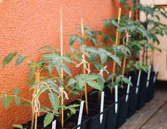 Vilka imponerande plantor! Jag tittar särskilt på dina chiliplantorna, för jag har själv planterat chili och paprika. De är ganska höga nu och har fått sina första knoppar. Men jag undrar om man ska klippa av plantorna för att forma de mer, så de inte blir så höga utan växer lite mer på bredden. Har du någon erfarenhet av det? Nu låter jag kanske som en nybörjare, men jag har planterat paprika förut, men när det väl blev (ganska tunga) paprikor på plantorna så var själva växten så hög att…