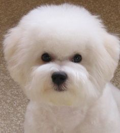 Head Studies – Bichon Frise Club of America