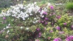 as azaleas dánsenos ben en Vilar