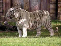 El tigre de Java vivía en la isla indonesia de Java . Probablemente esta subespecie se extinguió en la década de 1980, como resultado de la destrucción del hábitat y la caza. El último ejemplar fue avistado en 1979. El tigre de Java era una de las subespecies más pequeñas, aproximadamente del mismo tamaño que el tigre de Sumatra.