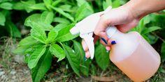 Veja como fazer um inseticida natural para manter as suas plantas livres de…