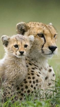 big cat family - Anita Smith Home Big Cats, Cats And Kittens, Cute Cats, Siamese Cats, Nature Animals, Animals And Pets, Strange Animals, Beautiful Cats, Animals Beautiful