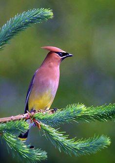 colorful cedar waxwing
