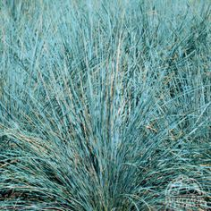 1000 images about blue grasses on pinterest fescue for Blue fountain grass
