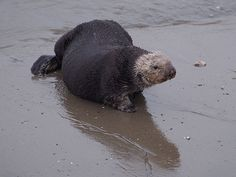 Sea otter takes a break from the sea for the beach - May 30, 2015