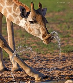 giraffe with water Giraffe Art, Cute Giraffe, Baby Giraffes, Giraffe Pictures, Cute Animal Pictures, Baby Animals, Funny Animals, Cute Animals, Beautiful Creatures