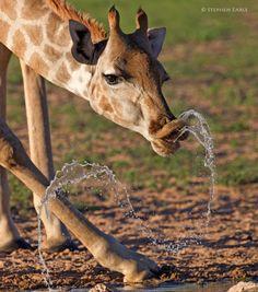 "Kgalagadi Transfrontier Park, South Africa ~ ""Sluurp!"" by Stephen Earle"