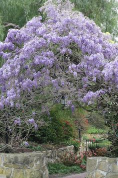 I love wisteria but I've got some taking over my backyard and strangling the trees....It's pretty when it's blooming though!