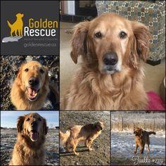 Golden Rescue (@GoldenRescue) | Twitter