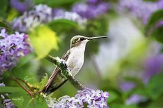 Ruby-throated Hummingbird-1 Print by Christina Rollo.  All prints are professionally printed, packaged, and shipped within 3 - 4 business days. Choose from multiple sizes and hundreds of frame and mat options.