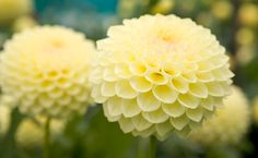 Dahlia - totally saw this flower shopping.. my mom wouldn't let me buy it
