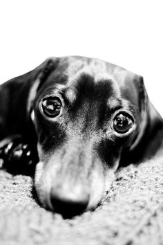 Eyes of love. Dachshund