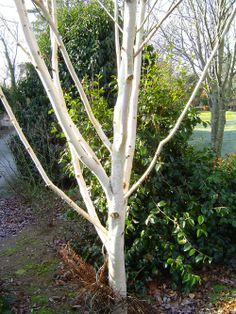 Betula Utilis Plants, Garden Trees, Backyard Garden, Winter Garden, Front Garden, Garden, Topiary Garden, Contemporary Garden, Garden Projects