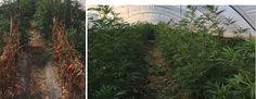 Coltivava marijuana in un terreno: arrestato 57enne a cura di Redazione - http://www.vivicasagiove.it/notizie/coltivava-marijuana-un-terreno-arrestato-57enne/