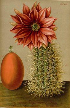 Echinocereus engelmannii (Parry ex Engelm.) Lemaire [as Cereus engelmannii Parry ex Engelm.] Gartenflora [E. von Regel], vol. 33: p. a, t. 1174 (1884)