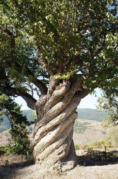 Almost 200 yrs old Pear tree / Kastamonu Turkey