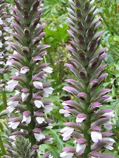 Bear's Breeches: drought tolerant, grows in full shade or sun, flourishes in poor soil.