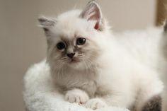 Sacred Birman Kitten | Cattery van de Simona's | The Netherlands