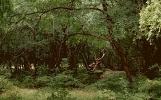 Male sambar deer standing within the forests of Ranthambore showing off his impressive antlers.