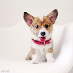 Nothing cuter than a Welsh Corgi puppy!