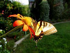 Swallowtail on Tithonia.