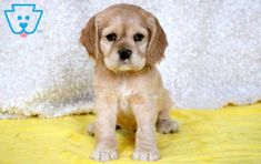 This gorgeous Cocker Spaniel puppy will definitely brighten up your days! She is very sweet puppy and has an outgoing personality. This puppy is raised Spaniel Puppies For Sale, Cocker Spaniel Puppies, Cute Puppies, Dogs And Puppies, Labrador Retriever, Cute Animals, Spaniels, Cocker Spaniel Pups, Labrador Retrievers