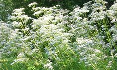 have isomnia??perhaps this herbs can help you. read more at http://herbstrove.blogspot.my/2016/07/valerian.html