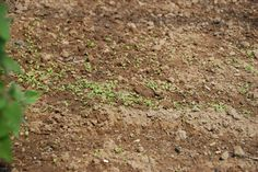 alfobre de alface (plantulas)