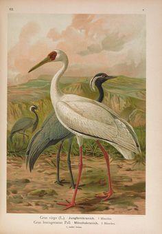 Naumann, Naturgeschichte der Vögel Mitteleuropas., volume 7, 1897