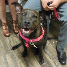 We love Bella's beautiful smile! #ozanimalhospital #chicago #lincolnpark #pittiesofig #dogsofinstagram #pittiesmile #pittiesofinstagram #upshow