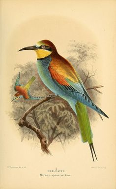 European Bee-Eater (Merops apiaster) by BioDivLibrary on Flickr. Coloured figures of the birds of the British Islands / issued by Lord Lilford..London :R. H. Porter,1885-1897..biodiversitylibrary.org/page/34524415