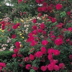 Cerise Bouquet - David Austin Roses