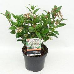 "Sneeuwbal (Viburnum tinus ""Lucidum"") heester - 20-25 cm (C2) - 6 stuks - Kwekersvergelijk Planter Pots, Backyard, Patio, Backyards"