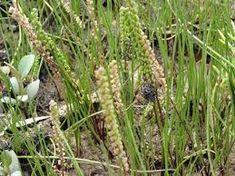 Triglochin striata - Google Search Cactus Plants, Coastal, Google Search, Cactus, Cacti