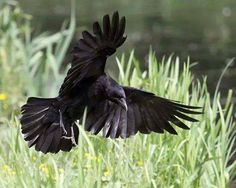 Trying to find an image for my crow tattoo. Raven And Wolf, Raven Bird, Raven Wings, Rabe Tattoo, Dark Wings, Crow Art, Jackdaw, Crows Ravens, Animal Totems