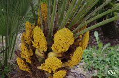 Inflorescencia C. humilis