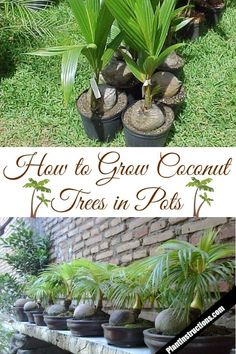 Growing Tomatoes In Pots grow coconut trees in pots - Keep reading to learn how to grow coconut trees in pots and have an endless supply of coconuts or just a really beautiful decorative plant! Mint Garden, Fruit Garden, Vegetable Garden, Strawberry Garden, Growing Tomatoes In Containers, Growing Vegetables, Grow Tomatoes, Garden Insects, Garden Plants