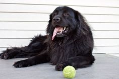 black lab great Pyrenees mix... you will be mine some day