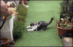 Animated CAT GIF • Playful Cat trying to catch water from garden hose. Epic fail :)