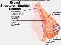 Badger anatomy of sex organs