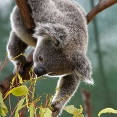 I really want to hold a Koala someday!!! Gold Coast Family & Tourist Attraction | Currumbin Wildlife Sanctuary