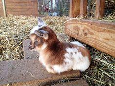 Baby goat loaf - Imgur