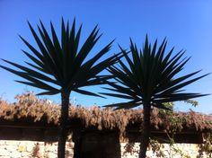 Palm trees at Can Aisha