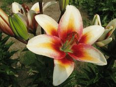 """""""tinos"""" asiatic lily"""