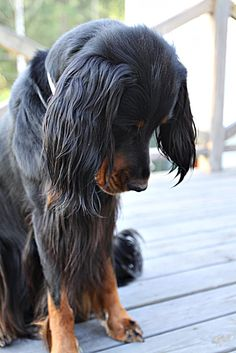 My Millie, best dog....Gordon setter