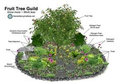 Example of a Fruit Tree Guild, where species of plants are interplanted with the fruit trees to feed their roots with nutrients - it is also very pretty!