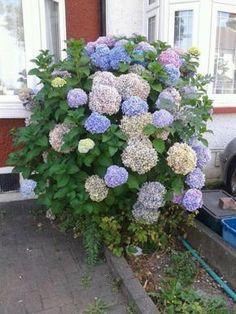 hortenzia12 Hydrangea, Peonies, Orchids, Outdoor, Decor, Gardens, Plant, Flowers, Outdoors