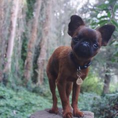 When Gizmo The Griffon became an actual Ewok Brussels Griffon Puppies, Griffon Dog, Puppies And Kitties, Cute Puppies, Cute Dogs, Doggies, Cute Baby Animals, Animals And Pets, Funny Animals